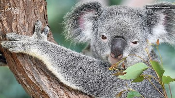 Koala Fingerprints Are Nearly Identical to Human Ones