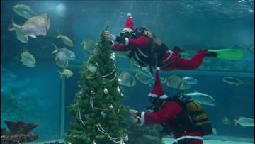 Santa Jaws! Divers Don Santa Suits to Put Christmas Tree in Shark Aquarium