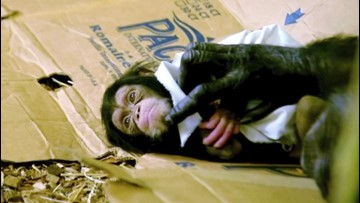 Newborn Chimp and Mom Caught Having Some 'Adorable Mother-Daughter Time'