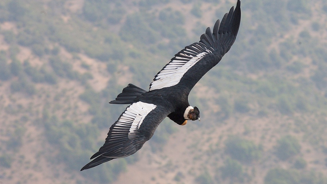 Andean Condor Flies Five Hours Without Flapping Wings Once Kare11 Com