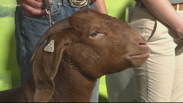 FFA members bring their animals by the KARE Barn