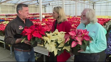 Grow with KARE: Colorful poinsettias