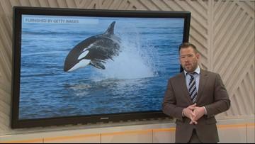 Sven Explains: Type D killer whales