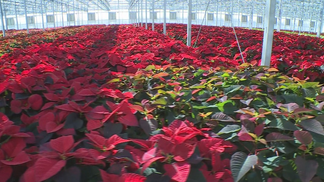 Grow with KARE: Poinsettia Care