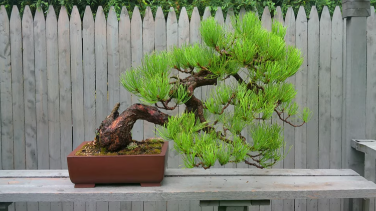Bonsai tree thefts have Hopkins police on the lookout