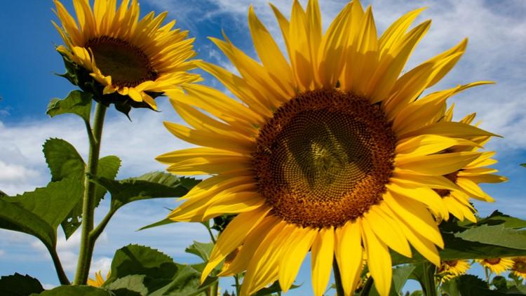 That's So Minnesota: Sunflower Farm