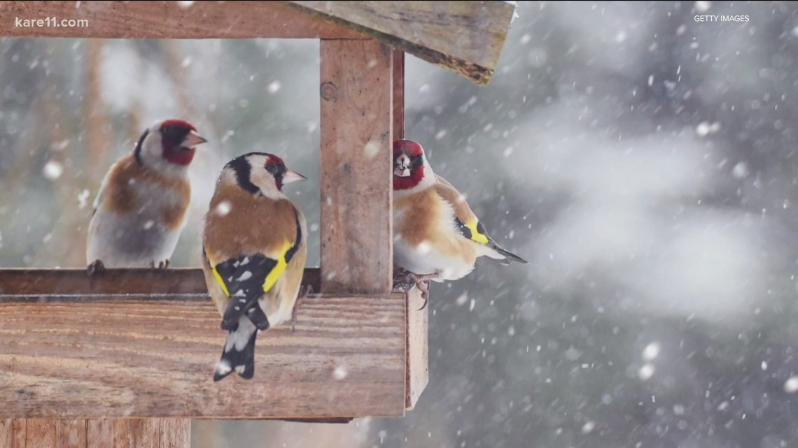 Grow with KARE: 11 winter birds to spot right now in Minnesota