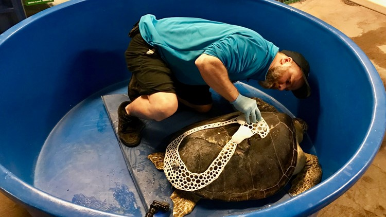 Sea Life aquarist Traner Knott attaches the University of Minnesota designed backpack to Seemore.
