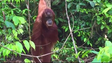 Sven Explains: World Orangutan Day