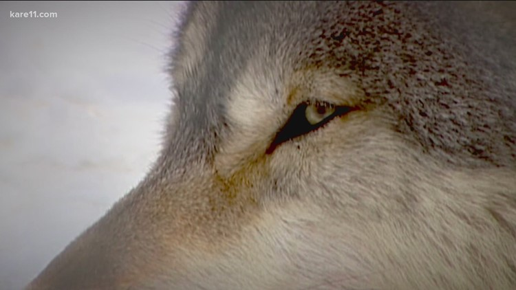 WI DNR ends wolf hunting season early