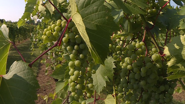 Minnesota wines prepared to withstand the dry weather