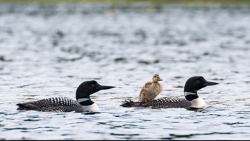 Putting rivalry aside, loon pair adopts duckling | kare11 com