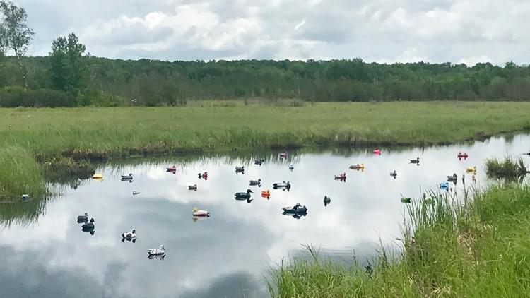 Ditch Ducks alongside Highway 65 in Aitkin County, Minnesota