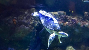 Thanks to U of M, gaseous sea turtle can dive again
