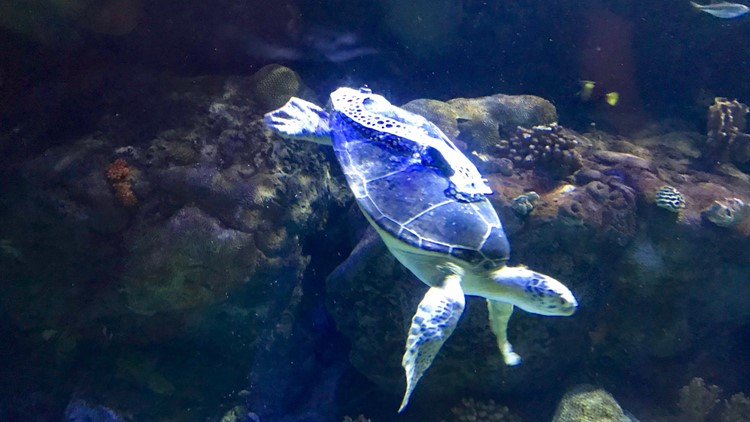 Wearing her new backpack, Seemore the sea turtle swims to the bottom of her Sea Life aquarium tank.