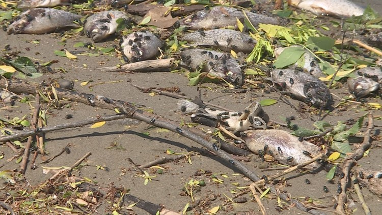 Hundreds of dead fish line the beach at Lake Nokomis. (Photo: KARE 11)