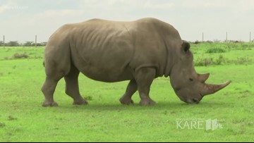 Sven Explains: Trying to save the Northern White Rhinos