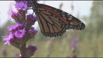 Sven Explains: Monarchs and their struggle out west