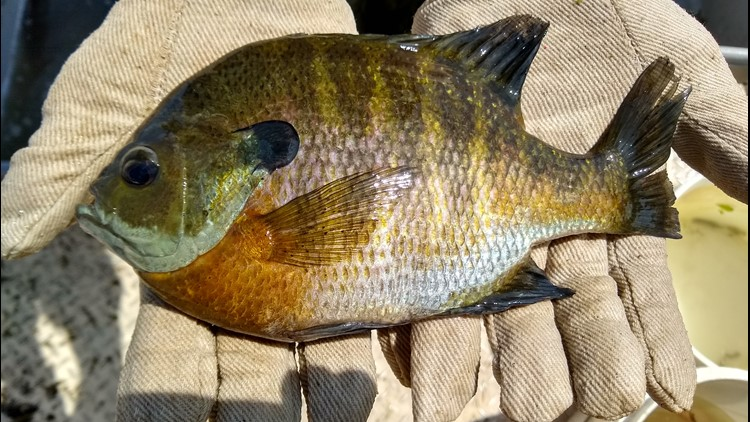 DNR urges anglers to throw big sunfish back