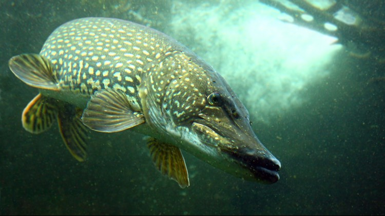 characteristics on the northern pike Armed with a basic knowledge of pike spawning habitats and lake characteristics  anglers can narrow their search for northern pike relatively quickly for anglers.