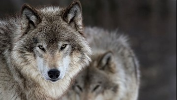 Wolf dies after capture for relocation to Isle Royale park