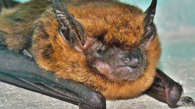 The MDH is now seeking to learn if the woman, or anyone else, were exposed to the bats while they were alive.