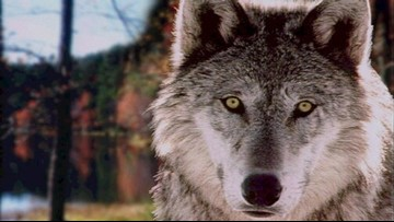 Officials planning to move Canadian wolves to Isle Royale