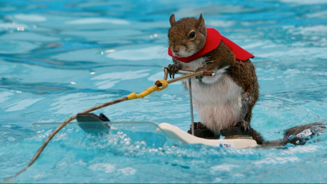 Twiggy the water-skiing squirrel retires after Minneapolis ...