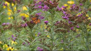 Grow with KARE: KARE's front yard prairie