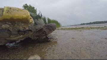 3-year turtle study wraps up on Medicine Lake