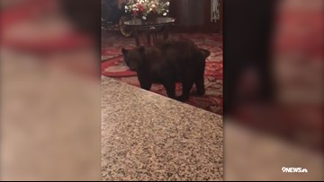You need to watch this bear wander through the lobby of swank CO hotel