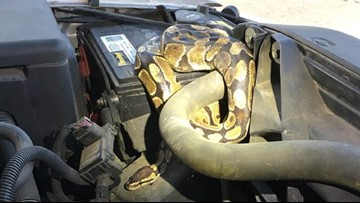 Slithering surprise found under hood of SUV in Wisconsin