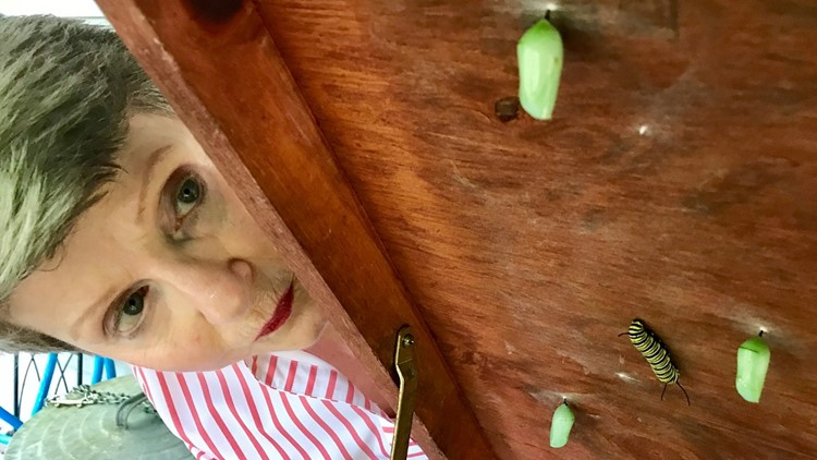 Kay Hamilton inspects chrysalises