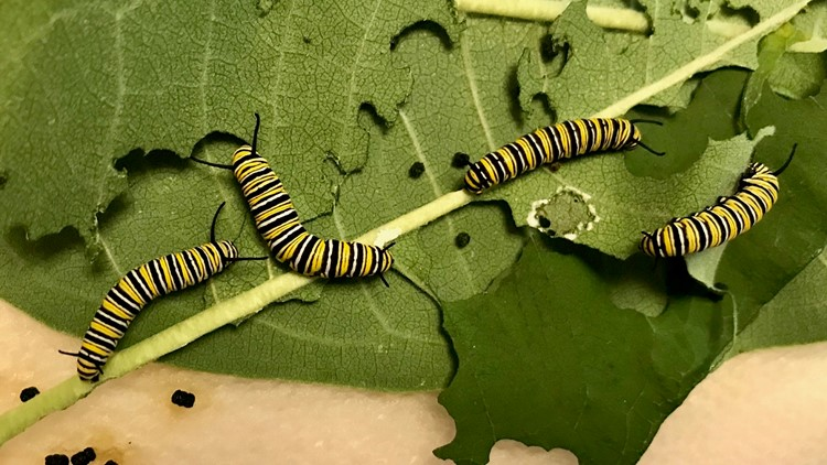 Future monarch butterflies bulk up for their transformation