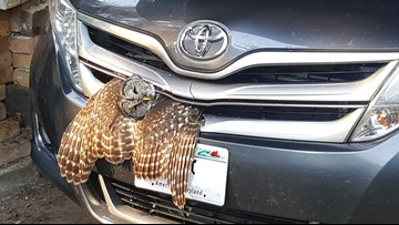 Owl survives collision with car grille
