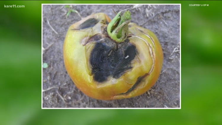 Grow with KARE: Blight-resistant tomato varieties