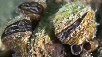 Zebra mussels found in Ramsey County lake