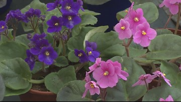 Grow with KARE: African Violets