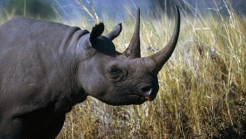 Explore with Sven: Rhinos used to dominate the planet