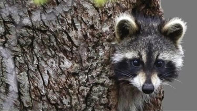 Raccoons drunk on crab apples cause rabid animal scare in West Virginia