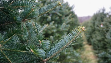 11 best local Christmas tree farms
