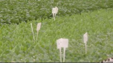 Greenhouse growers remixing salads until romaine alert narrows