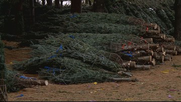 VERIFY: Is there a shortage of Christmas trees this year?