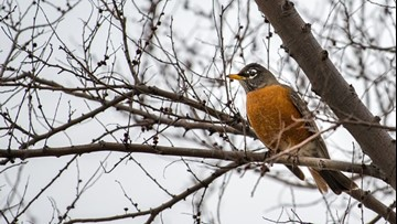 Why do so many robins stick around for the winter?