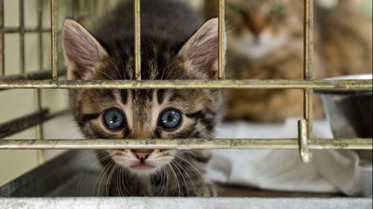 adoption kitten