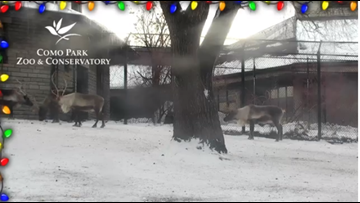 On Dasher! On Dancer! The Como Zoo Reindeer Cam is back