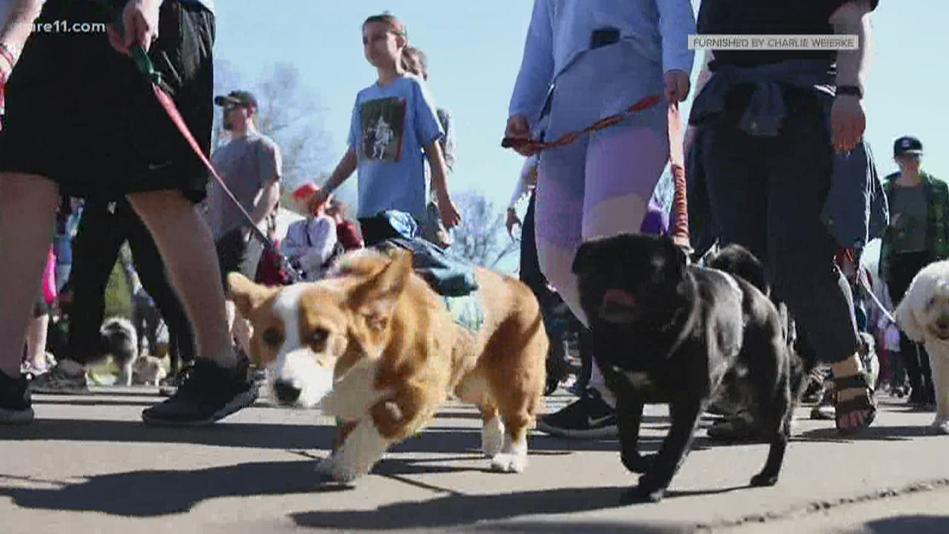 Humane Society Virtual Walk For Animals Kare11 Com