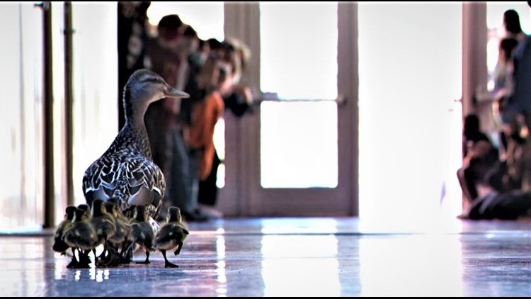 Ten ducklings follow their mom through a Minnesota elementary school, continuing 20-year tradition