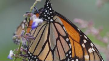 Sven Explains: Monarch monitoring