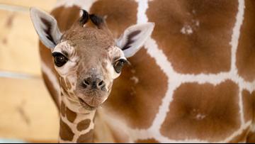 Como Zoo's new baby giraffe stands tall